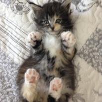Котята мейн-кун, чистокровные.