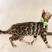 Бенгальские котята мальчики