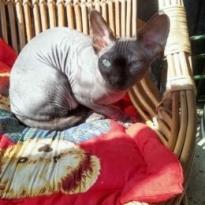 Пропал кот сфинкс