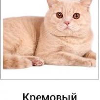 Потерялся кот шотландский страйт кремовый
