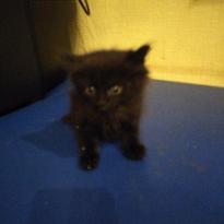 Персидские котята polar koind черные