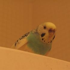 Пропал попугай зеленый с желтым волнистый попугай