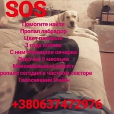 Пропала собака лабрадор 3 года и вместе с ним ценок(9 месяцев) немецкой овчарки
