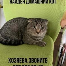 Найден кот Британец домашний