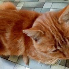 пропала рыжая кошка
