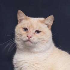 Отдам в хорошие руки фенотипичного тайского котика Уве