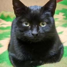 Пропал черный кот, короткошерстный, подросток. Бровары.