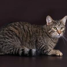 Отдам в хорошие руки колоритного молодого кота Баюна