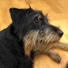 Найдена собака терьер Киев - Соломенка - парк Ушиинского 6 июля 2020