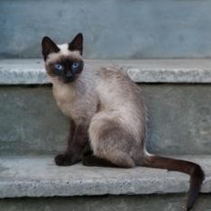 Найдена сиамская кошка август 2020 (Голосеевский район). Ищет дом!