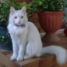 Пропала белая пушистая кошка / Соборка