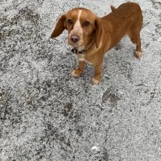 Знайдено собаку, дівчинка рудого окрасу