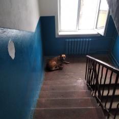 Нашлась собачка,похожа на овчарку,Отрадный, Киев