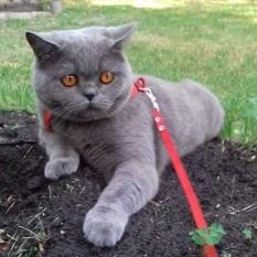 Пропал кот шотландец, Киев, Нивки