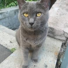 Найдена серая кошка (домашняя)