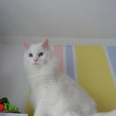 Пропал белый кот