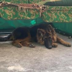 Потерялся щенок немецкой овчарки