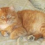 Рыжий кот Соломон