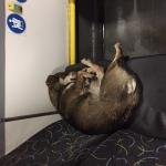 Найдена собака в 8-ом троллейбусе